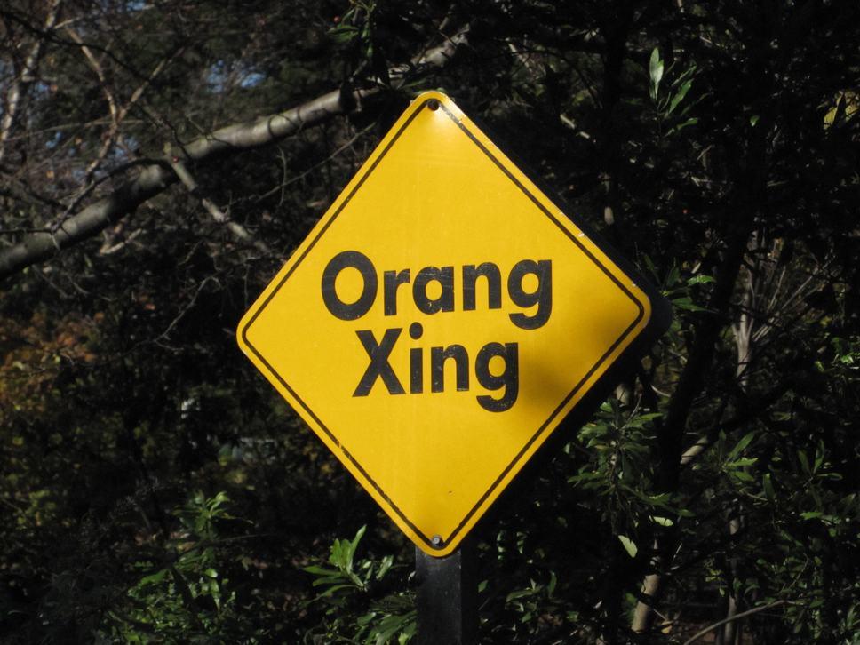 Orangutan Xing